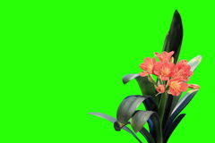 4K. Growth of Clivia flower buds green screen Royalty Free Stock Photo