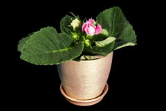 4K. Growth of Gloxinia flower buds ALPHA matte Royalty Free Stock Photography