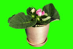 4K. Growth of Gloxinia flower buds green screen Royalty Free Stock Images