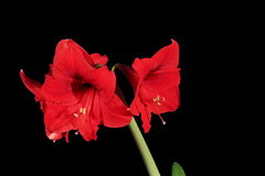 4K. Growth of red hippeastrum flower buds ALPHA matte, Ultra HD. Royalty Free Stock Images