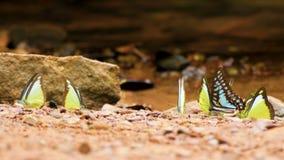 4K Gruppe bunte Schmetterlinge, die Schmetterlingsflügel aus den Grund bewegen und in Natur nahe dem Fluss, selektiver Fokus flie stock video footage