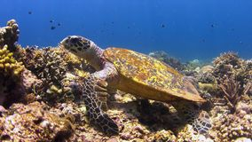 4k Hawksbill turtle on a Coral reef while eating stock footage