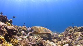 4k Hawksbill turtle on a Coral reef while eating stock video footage