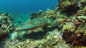 4k Hawksbill turtle on a Coral reef while eating stock video