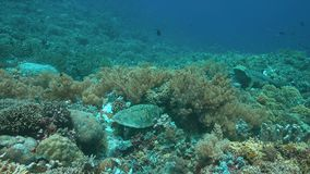 4k Hawksbill turtle on a coral reef while eating. Hawksbill turtle on a coral reef while eating. A small Whitetip Reef Shark passing by 4k footage stock video footage