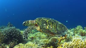 4k Hawksbill turtle on a Coral reef stock footage