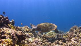 4k Hawksbill turtle on a Coral reef stock video