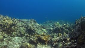 4k Hawksbill turtle swimming on a Coral reef. Hawksbill turtle swimming on a Coral reef. 4k footage stock footage