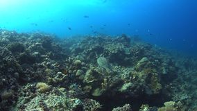 4k Hawksbill turtle swimming on a Coral reef. Hawksbill turtle swimming on a Coral reef with plenty fish. 4k footage stock footage