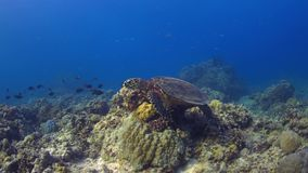 4k Hawksbill turtle swims on a Coral reef. Hawksbill turtle swims on a Coral reef. 4k footage stock video footage