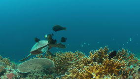 4k Hawksbill turtle swims on a Coral reef. Hawksbill turtle swims on a Coral reef. 4k footage stock video
