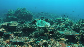 4k Hawksbill turtle swims on a Coral reef. Hawksbill turtle swims on a Coral reef. 4k footage stock footage