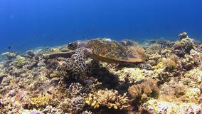 4k Hawksbill turtle swims over a Coral reef stock video footage
