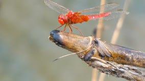 4K het dichte omhoog geschotene insect van de libelvlieg in aardplaats van tropisch Azië stock footage