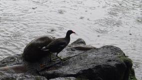 4k het gemeenschappelijke waterhoen vist en eet een vis over rots in een meer met regen stock footage