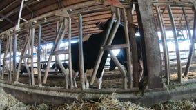 4K het moderne landbouwbedrijf van de melkkoe De landbouwindustrie, de landbouw en veeteelt stock footage