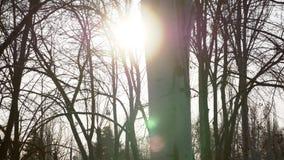 4K het scherm van de winter witte berk wordt geschoten met blitch van zon die stock footage