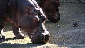 4K, hipopótamo común está comiendo en parque zoológico El amphibius del hipopótamo está alimentando almacen de video