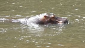 4K hippopotamus mammal animal in the natural river stock video