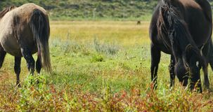4k horse grazing on the grassland,shangri-la yunnan,china. stock footage