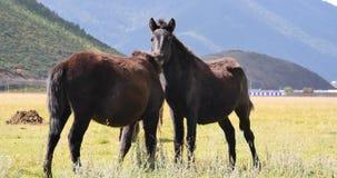 4k horse grazing on the grassland,shangri-la yunnan,china. stock video