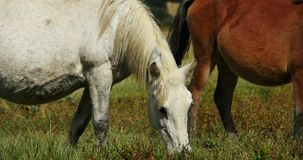 4k horse grazing on the grassland,shangri-la yunnan,china. stock video footage