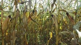 4K Innerhalb des reifen Maisfeldes die für das Ernten vorbereiten Nahaufnahmepanoramablick stock video
