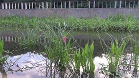 4K jajka Pomacea canaliculata w roślinie jezioro przy Taipei miastem zbiory wideo