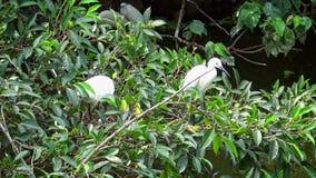 4k, jerarquización blanca del garzetta del egretta de los pájaros tomar para cuidar la jerarquía con los huevos azules metrajes