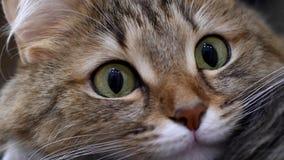 4K: Kattungejägare för gröna ögon Framsidacloseup Makro lager videofilmer