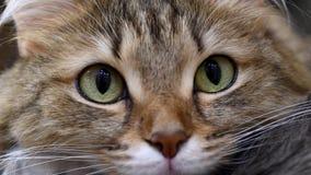 4K: Kattungejägare för gröna ögon Framsidacloseup Makro arkivfilmer