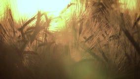 4K klamerka jęczmienia pola dmuchanie w wiatrze przy zmierzchem lub wschodem słońca zdjęcie wideo