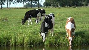 4K Kor betar i den gröna ängen i edamer, Nederländerna stock video
