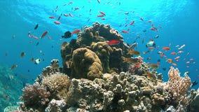 4k koraalrif met Anthias en Damselfishes Stock Afbeelding