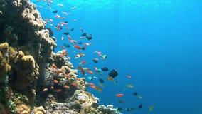 4k koraalrif met Anthias en Damselfishes Royalty-vrije Stock Foto