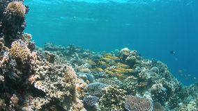 4k koraalrif met Zalmforel Goatfishes Stock Foto