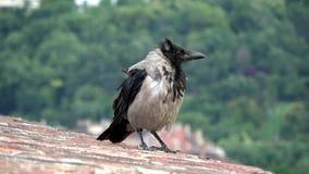 4K Kraai met zwart-witte veren op een dak Gemeenschappelijke raaf stock video