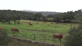 4K krowy w paśnikach w Dehesa Extremadura, Hiszpania zbiory