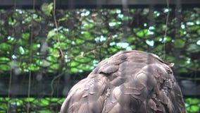 4k, Kuifserpentadelaar in de dierentuin Spilornischeela stock footage