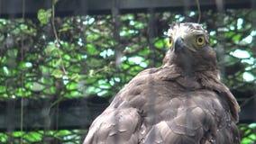 4k, Kuifserpentadelaar in de dierentuin Spilornischeela stock video