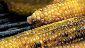 4K Kukurydzani cobs na grillu Kucharz rusza się one i obraca one wokoło zbiory
