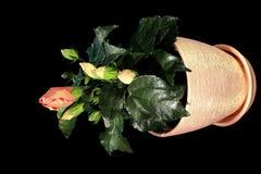 4K. Kwitnący pomarańczowy poślubnika kwiatu pączków ALFA matte zbiory