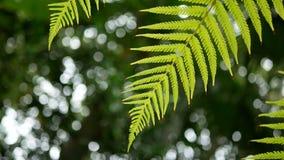 4K la fougère verte laisse le balancement du vent avec le fond d'arbre et la lumière verts de bokeh fond naturel vert avec la lon banque de vidéos