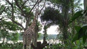 4k, la giraffa ha utilizzato la linguetta lunga per mangia da una scatola con alimento nello zoo video d archivio