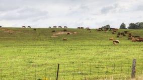 4K landelijke timelapsemening van UltraHD A van een gebied en een kudde van koeien stock footage