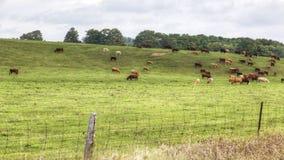 4K landelijke timelapsemening van UltraHD A van een gebied en koeien stock video