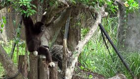 4K, Lar Gibbon resting on tree branches at zoo forest. Captive Hylobates Lar. 4K, Lar Gibbon is resting on tree branches at zoo forest. A captive Hylobates Lar stock video footage