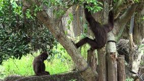 4K, Lar Gibbon se reposant sur des branches d'arbre au Lar captif de Hylobates de forêt de zoo banque de vidéos