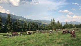 K?he lassen auf einem gr?nen Feld in den Bergen der Karpaten weiden stock video footage