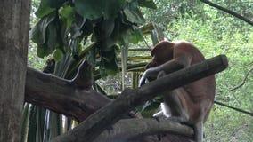 4k, le singe de buse mange dans un arbre du zoo (le larvatus de Nasalis) banque de vidéos